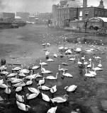 Coalhill, Leith  -  Swans  on the Water of Leith -  When was this photo taken?