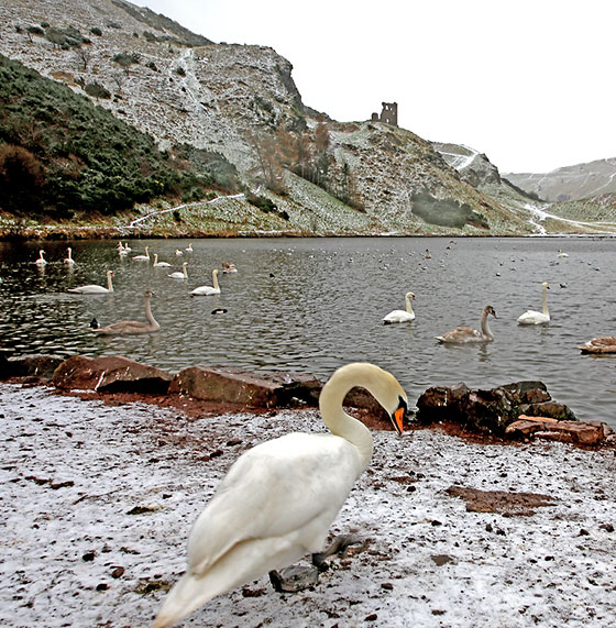 Swans at St Margaret's Loch, Holyrood Park - February 2013