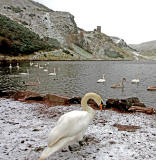 Swans at St Margaret's Loch, Holyrood Park, Edinburgh  -  February 2013