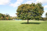 Sycamore Tree near the NW corner of Inch Park  -  5 September 2012