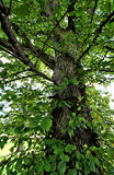 Elm Tree  -  19 September 2012