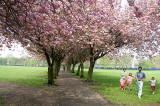 The Meadows  -  Cherry Blossom  -  May 2008