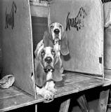 Two Basset Hounds at the Dog Show at Waverley Market, 1971