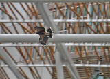 Harris Hawk being used to control the nesting of pigeons at the Scottish Parliament, Edinburgh