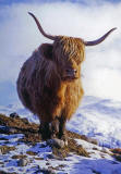 A Christmas card published by Bank of Scotland, Antwerp Branch, featuring my photo of a highland cow near Crianlarich