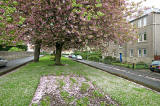 Warriston Road, leading from Ferry Road to Canonmills  -  Cherry Blossom  -  May 2008