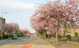 West Saville Terrace, Blackford  -  Beside the Reid Memorial Church  -  Cherry Blossom  -  May 2008